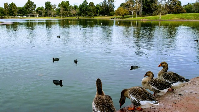 2020, as observed by the geese at El Dorado Park.